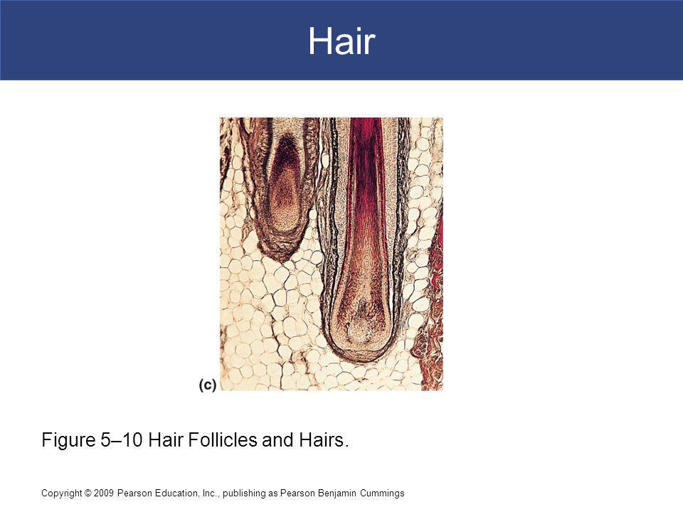 Hair [INSERT FIG. 5.10c] Figure 5–10 Hair Follicles and Hairs.